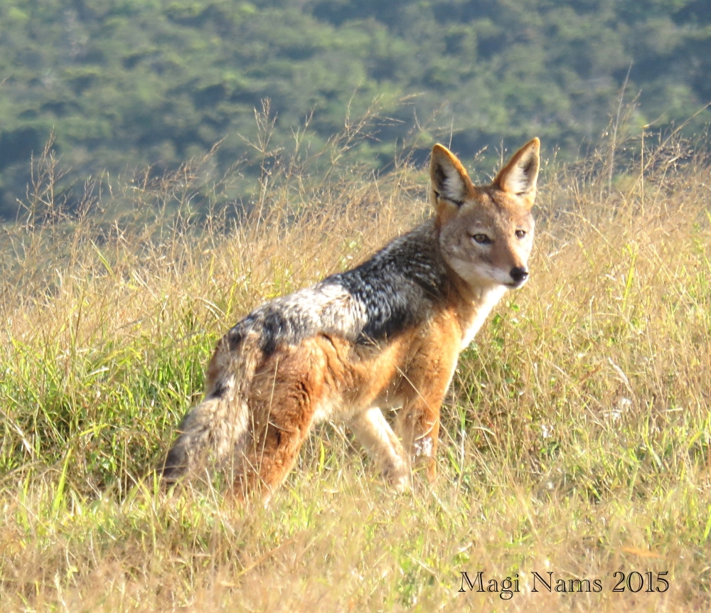 Six Months in South Africa: Reflections on Three Months in South Africa: Black-backed Jackal, Addo Elephant National Park, South Africa (© Magi Nams)