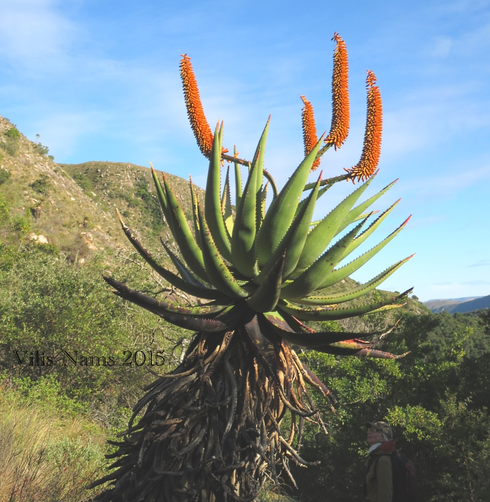 Six Months in South Africa: Doringkloof Walk, Addo Elephant National Park: Flowering Aloe, Doringkloof Walk (© Vilis Nams)