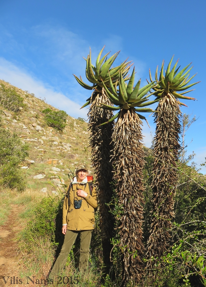 Six Months in South Africa: Doringkloof Walk, Addo Elephant National Park: Aloes on Doringkloof Walk (© Vilis Nams)