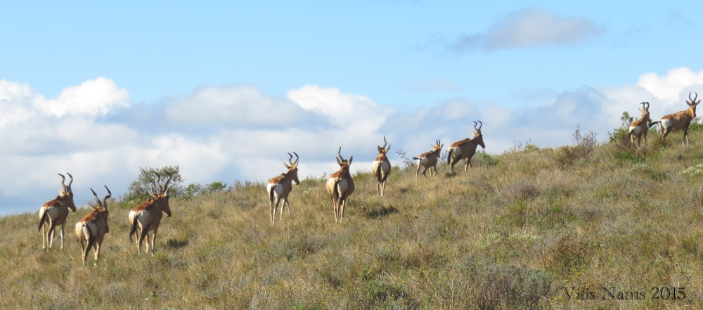 Six Months in South Africa: Doringkloof Walk, Addo Elephant National Park: Red Hartebeest (Alcelaphus buselaphus) , Doringkloof Walk, Addo Elephant National Park (© Vilis Nams)