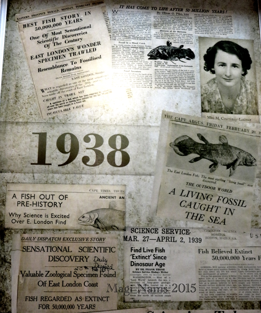 Six Months in South Africa: Marjorie Courtenay-Latimer and the Coelacanth: Newspaper Coverage of Coelacanth Discovery, at SAIAB (© Magi Nams)