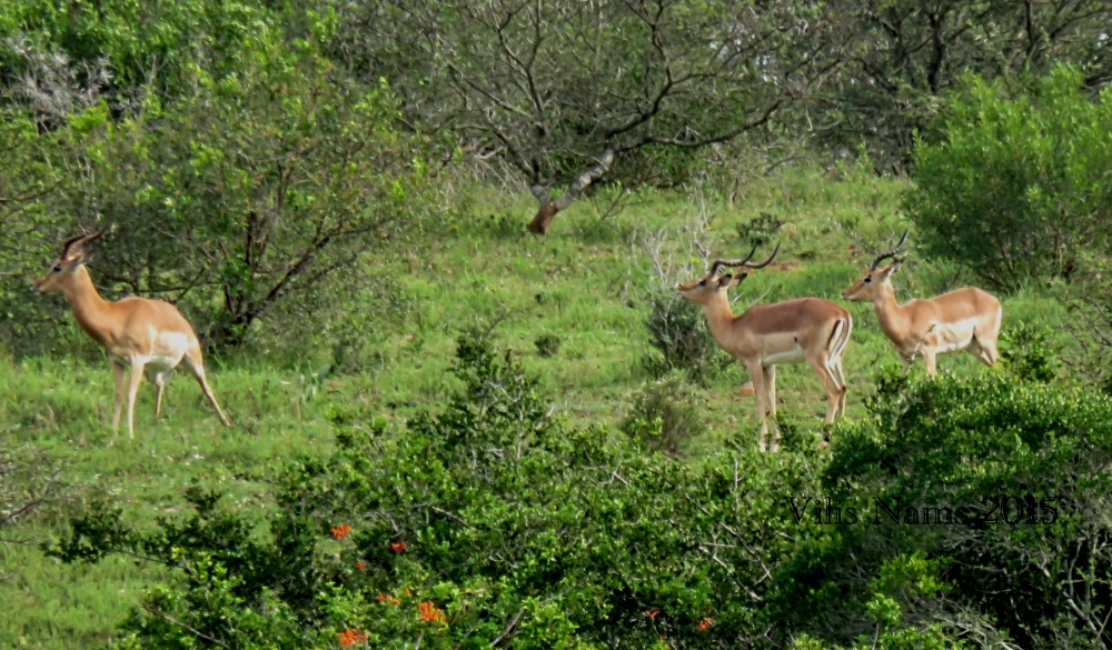 Six Months in South Africa: Hiking at Assegaai Trails: Impala Rams (Aepyceros melampus) (© Vilis Nams)