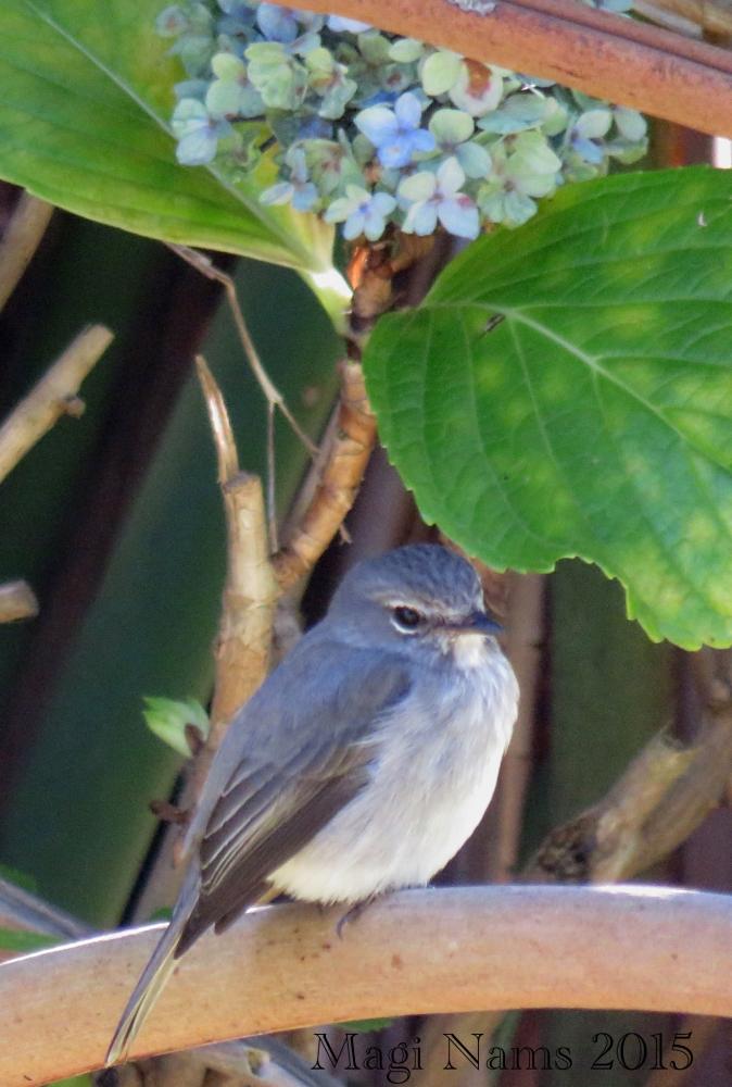 Six Months in South Africa: Makana Botanical Gardens, Grahamstown: African Dusky Flycatcher (Muscicapa adusta)(© Magi Nams)