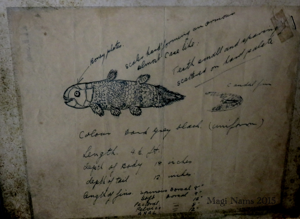 Six Months in South Africa: Marjorie Courtenay-Latimer and the Coelacanth: Marjorie Courtenay-Latimer's Drawing of the Coelacanth (© Magi Nams)