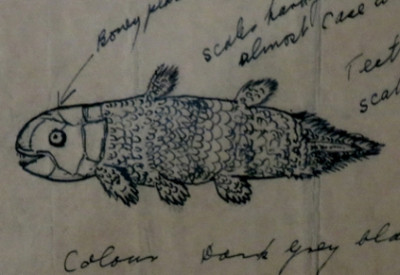 Six Months in South Africa: Marjorie Courtenay-Latimer and the Coelacanth: Marjorie Courtenay-Latimer's Drawing of the Coelacanth, from display at South African Institute for Aquatic Biodiversity (© Magi Nams)