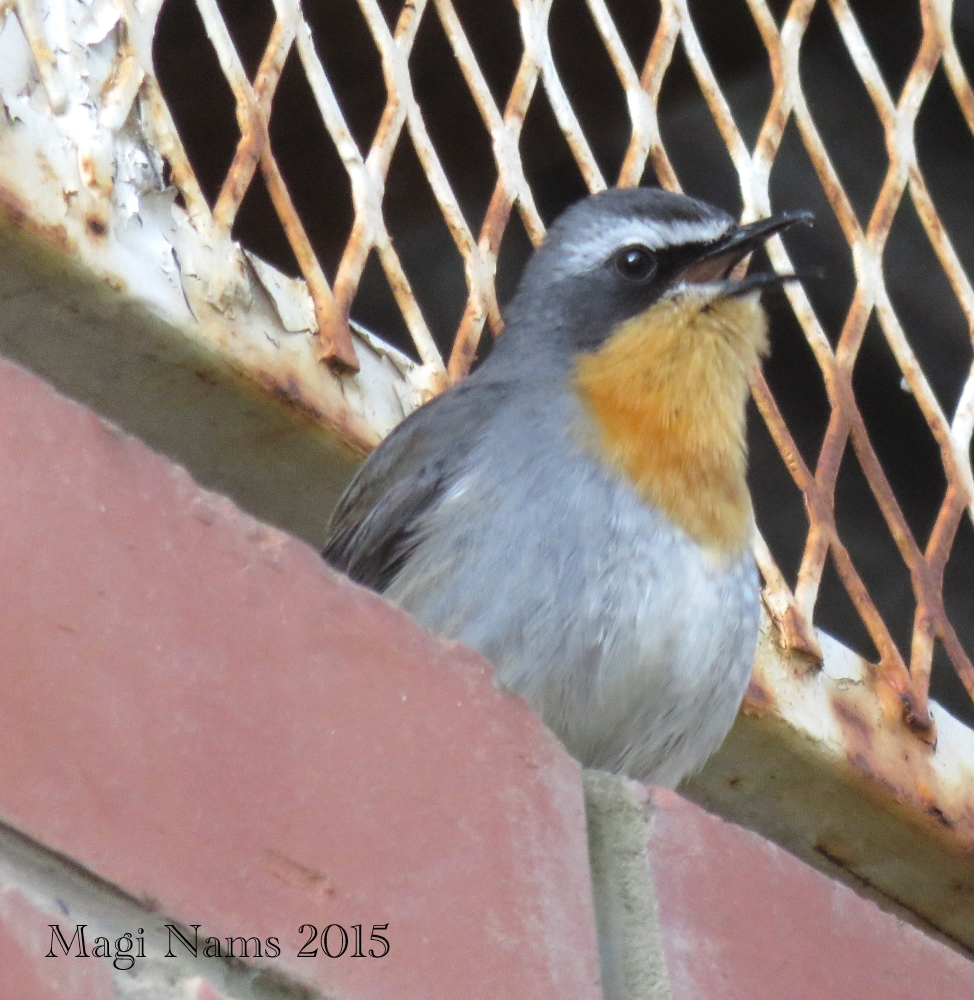 Six Months in South Africa: Birding at Rhodes University: Cape Robin-chat (Cossypha caffra) (© Magi Nams)