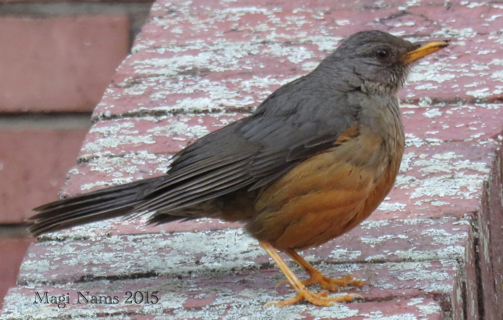 Six Months in South Africa: Birding at Rhodes University: Olive Thrush (Turdus olivaceus) (© Magi Nams)