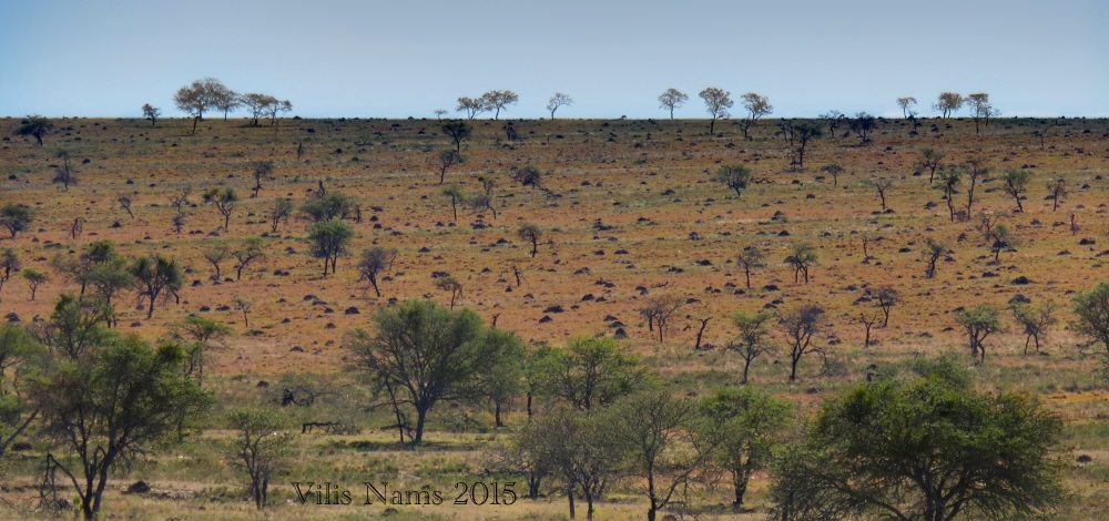 Six Months in South Africa: Coordinated Avifaunal Roadcount: Acacias and Termite Mounds on Veld (© Vilis Nams)