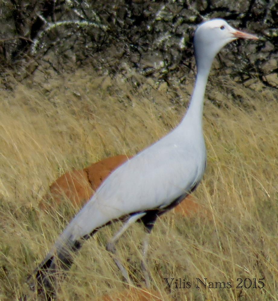 Six Months in South Africa: Coordinated Avifaunal Roadcount: Blue Crane (Anthropoides paradiseus) (© Vilis Nams)