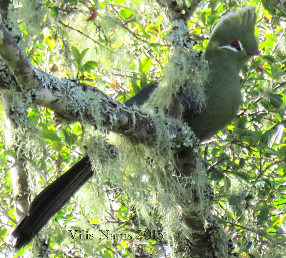Six Months in South Africa: Hiking Tree Dassie Trail, Addo Elephant National Park: Knysna Turaco (Tauraco corythaix) and Old Man's Beard (© Vilis Nams)