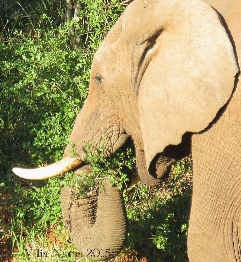 Six Months in South Africa: Notes from Addo Elephant National Park: African Elephant (Loxodonta africana) Feeeding (© Vilis Nams)