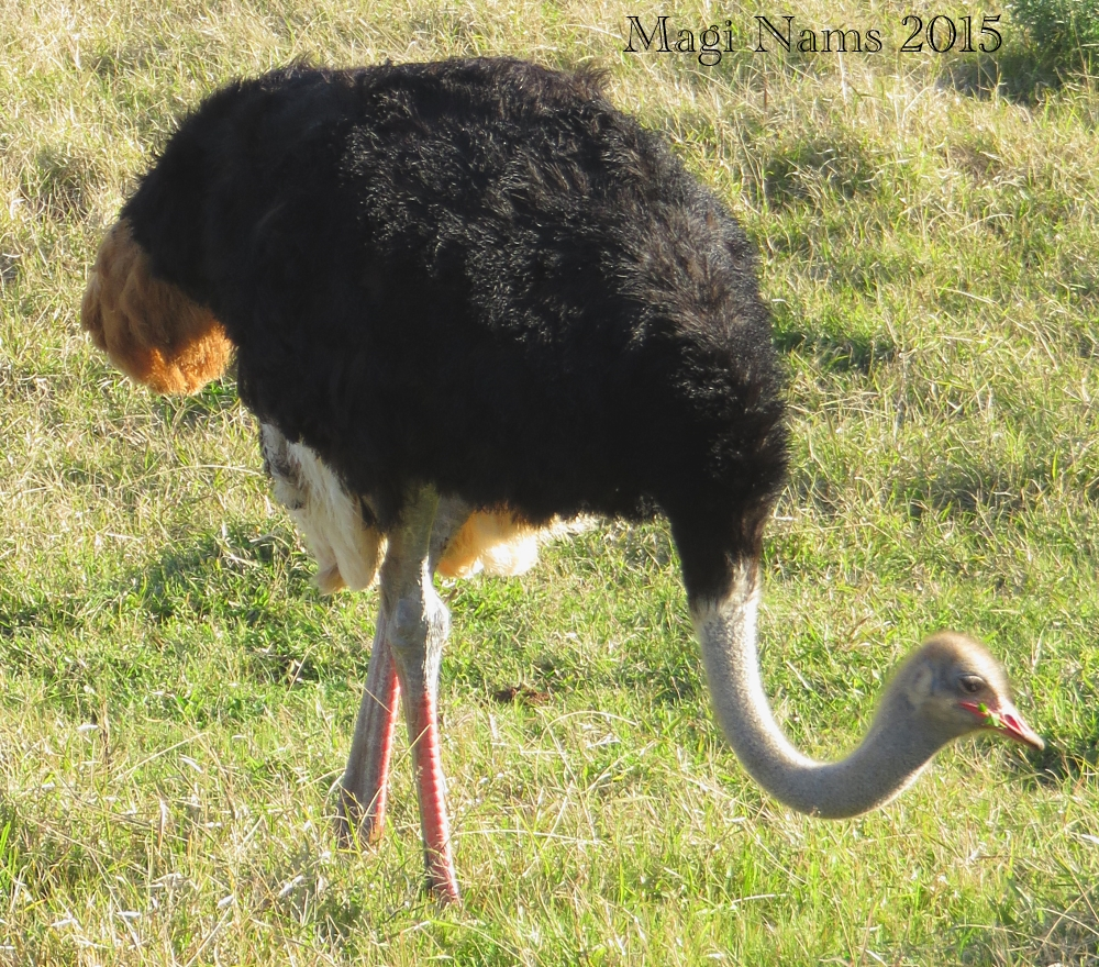 Six Months in South Africa: Notes from Addo Elephant National Park: Male Ostrich (Struthio camelus) Foraging (© Magi Nams)