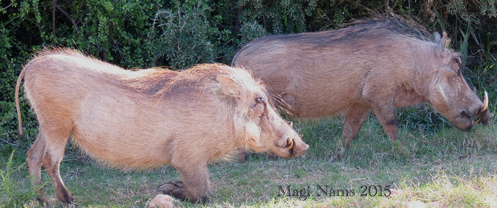 Six Months in South Africa: Notes from Addo Elephant National Park: Warthogs (Phacochoerus africanus) Grazing (© Magi Nams)