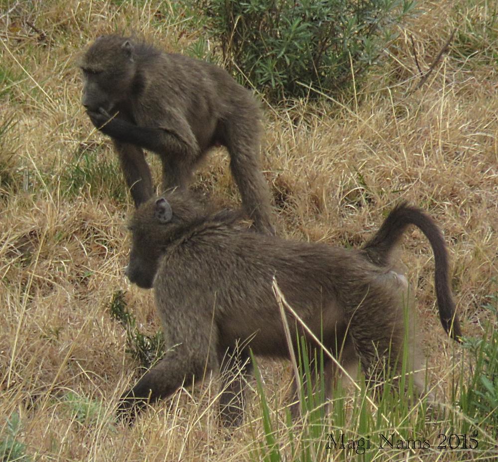 Six Months in South Africa: Hiking at Hogsback: Savannah Baboons (Papio cynocephalus ursinus) (© Magi Nams)
