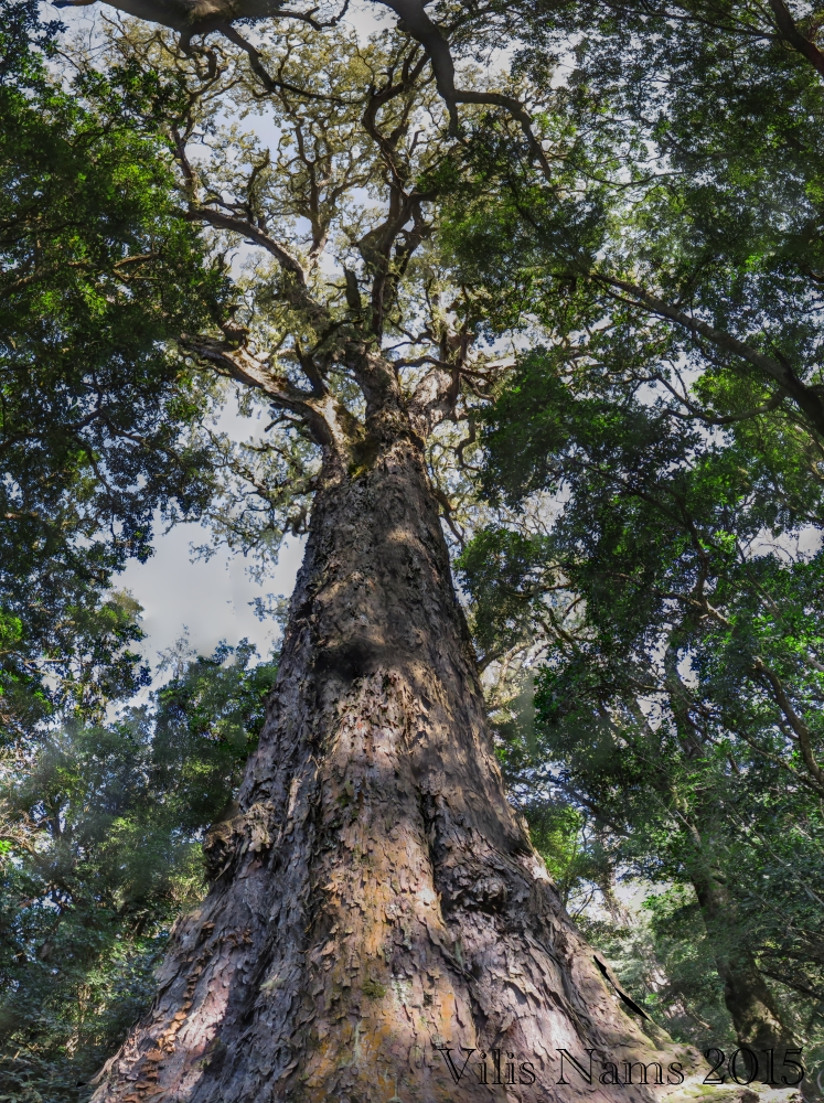 """Six Months in South Africa: Hiking at Hogsback: """"Big Tree"""" Yellowwood (Podocarpus falcatus) in Auckland Forest Reserve, Hogsback (© Vilis Nams)"""
