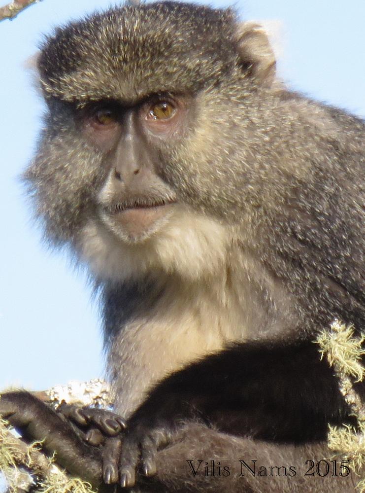 Six Months in South Africa: Hiking at Hogsback: Samango Monkey (Cercopithecus albogularis) (© Vilis Nams)