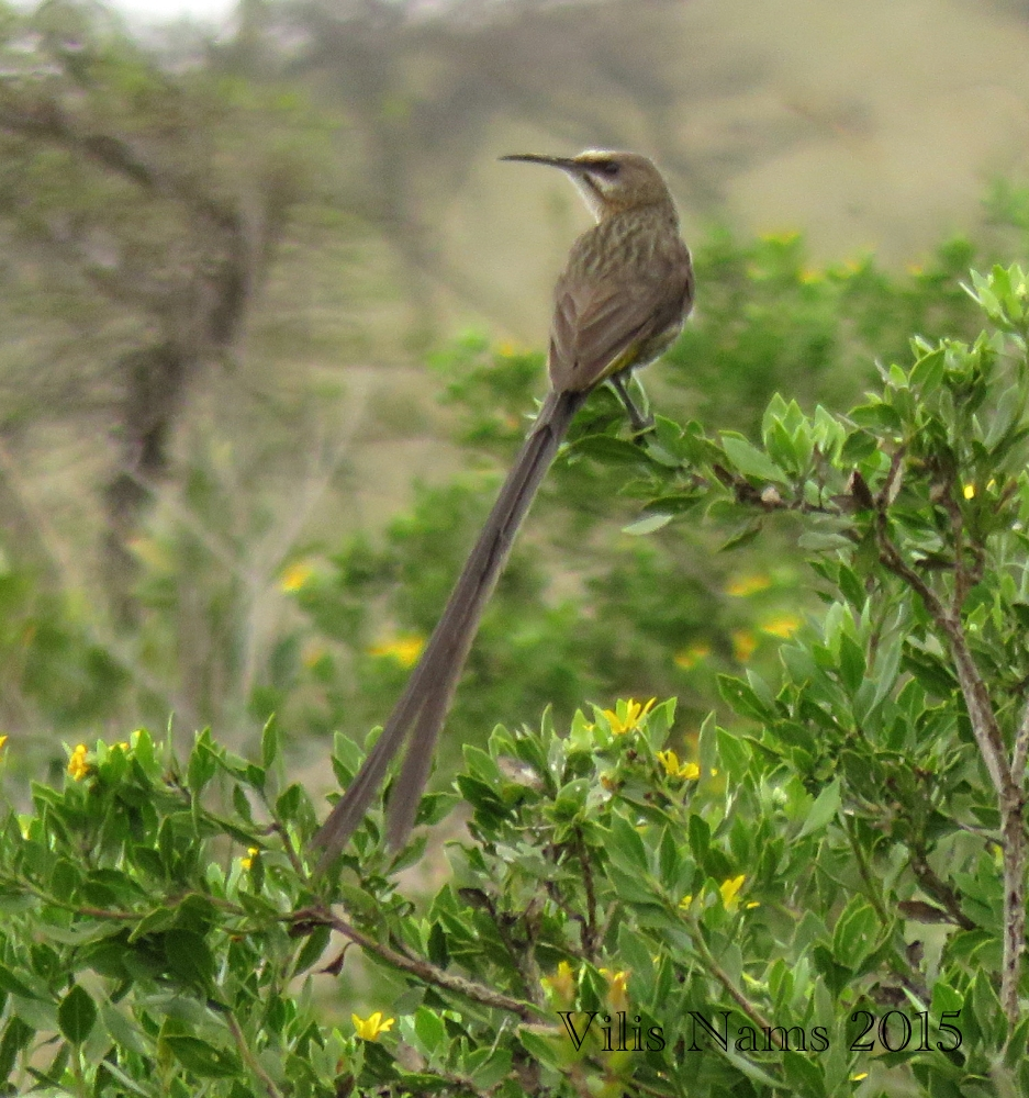 Six Months in South Africa: Hiking Featherstone Kloof: Cape Sugarbird (Promerops cafer) (© Vilis Nams)