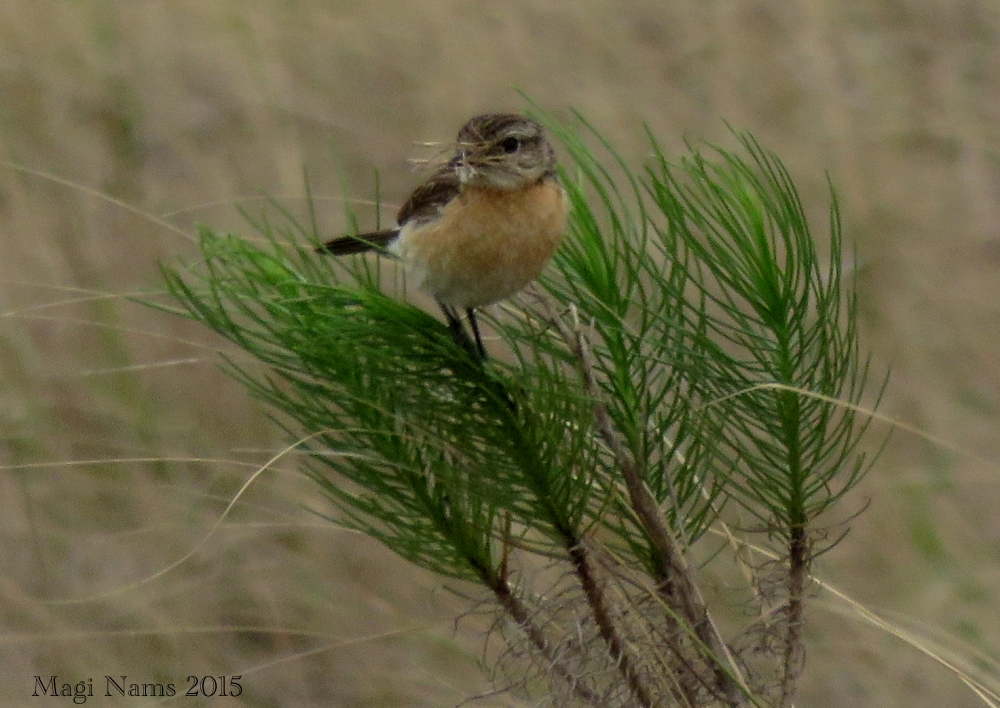 Six Months in South Africa: Hiking Featherstone Kloof: Female African Stonechat (Saxicola torquatus) (© Magi Nams)