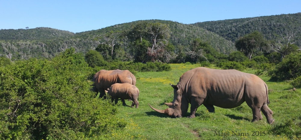 Six Months in South Africa: Great Cell Phone Images of Eastern Cape: White Rhinoceroses (Ceratotherium simum) (© Magi Nams)