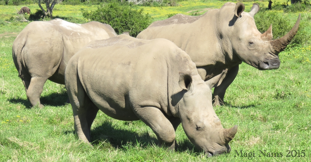 Six Months in South Africa: Land of Plenty Big Animals: White Rhinoceroses (Ceratotherium simum) (© Magi Nams)