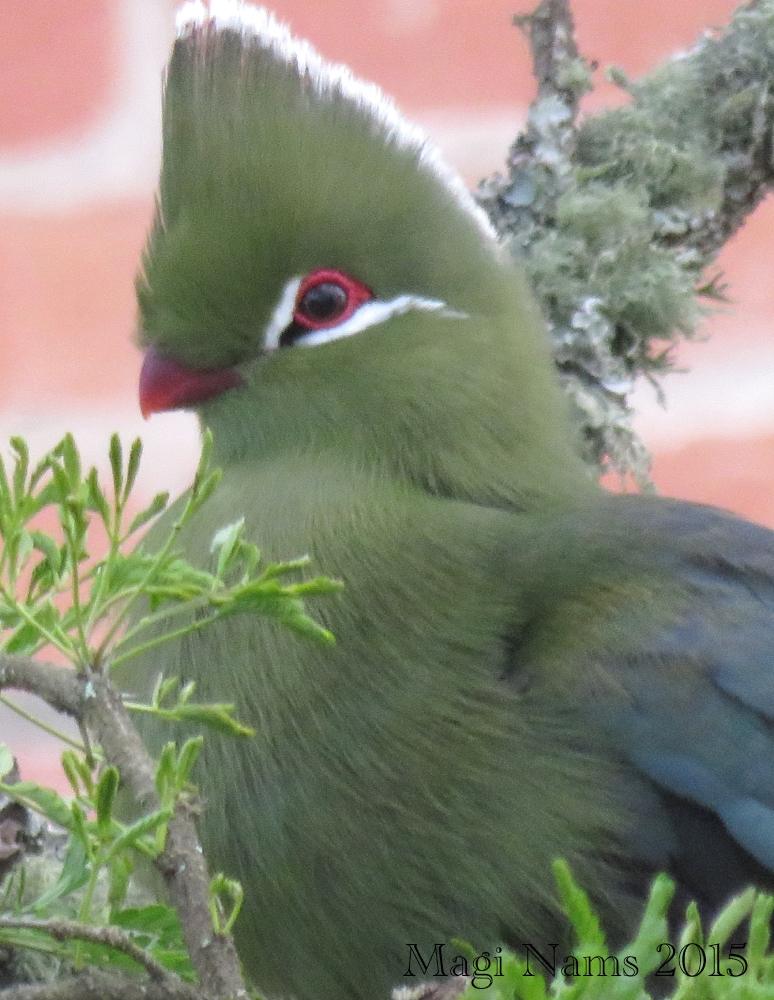 Six Months in South Africa: Birding at Rhodes University: Knysna Turaco (Tauraco corythaix) (© Magi Nams)