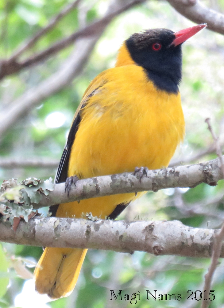 Six Months in South Africa: Birding at Rhodes University: Black-headed Oriole (Oriolus larvatus) (© Magi Nams)