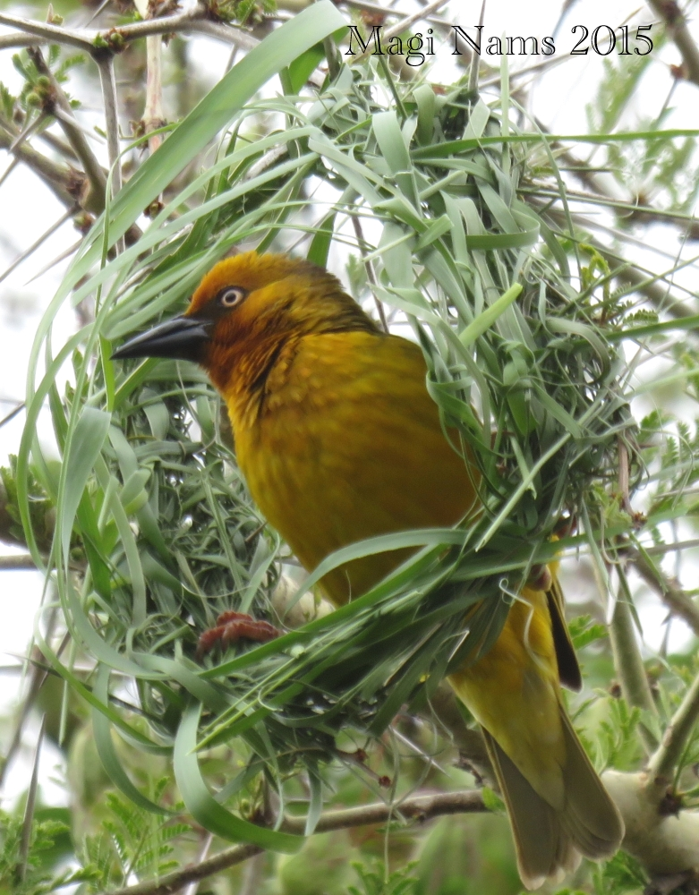 Six Months in South Africa: Birding at Rhodes University: Cape Weaver Male (Ploceus capensis) and Nest (© Magi Nams)