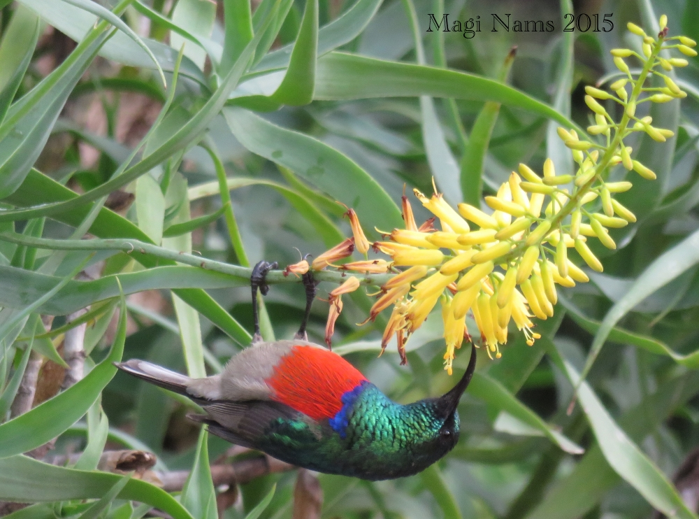 Six Months in South Africa: Birding at Rhodes University: Greater Double-collared Sunbird Male (Cinnyris afer) (© Magi Nams)