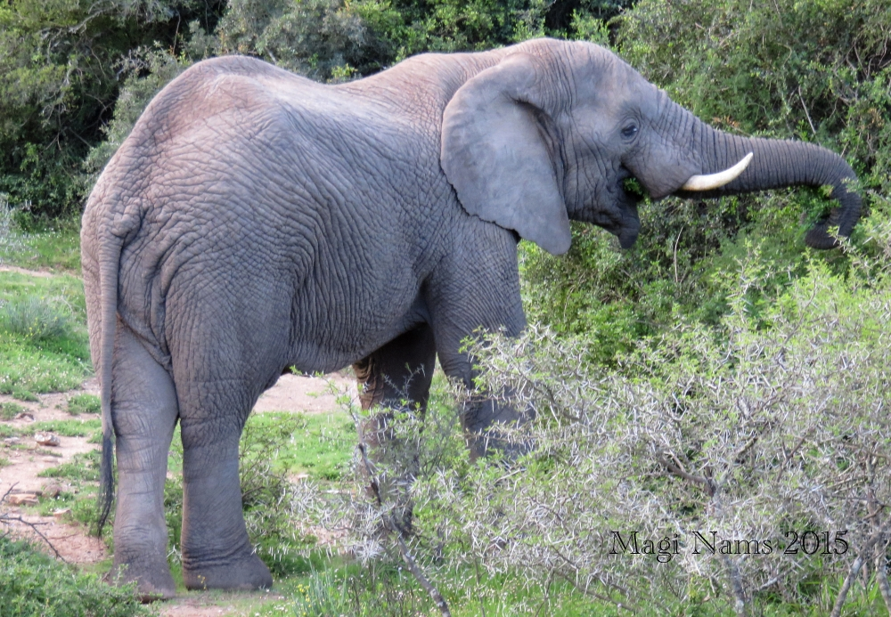Six Months in South Africa: Poor Man's Game Drive: African Elephant (Loxodonta africana) © Magi Nams)