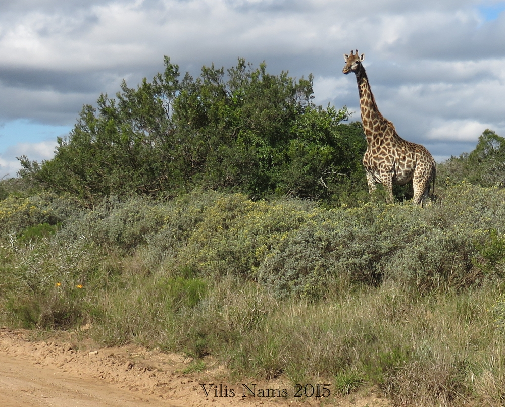Six Months in South Africa: Poor Man's Game Drive: Giraffe (Giraffa camelopardalis), Seen on Poor Man's Game Drive(© Vilis Nams)