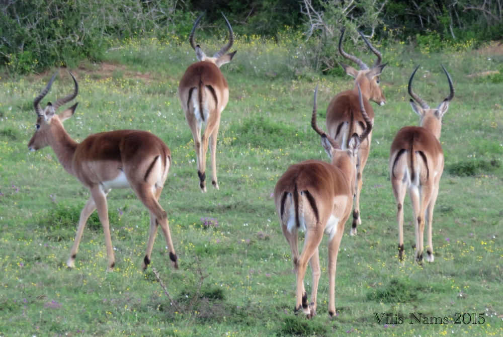 Six Months in South Africa: Poor Man's Game Drive: Impala Rams (Aepyceros melampus) (© Vilis Nams)
