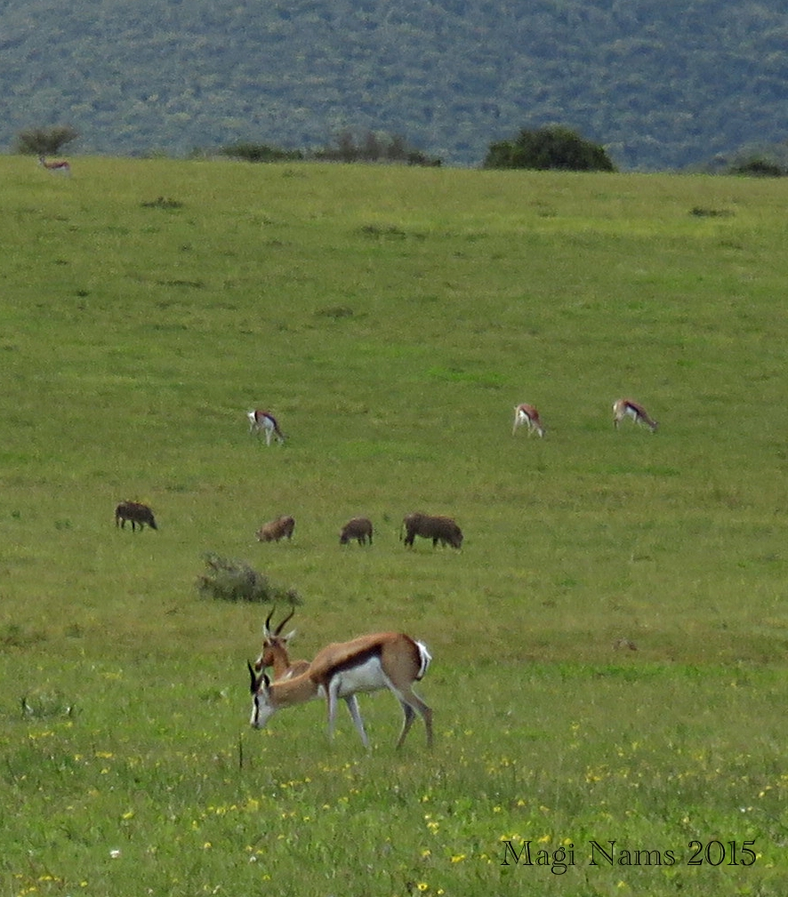 Six Months in South Africa: Poor Man's Game Drive: Springbok (Antidorcas marsupialis) and Warthogs (Phacochoerus africanus) in Sharmwari Game Reserve ( © Magi Nams)
