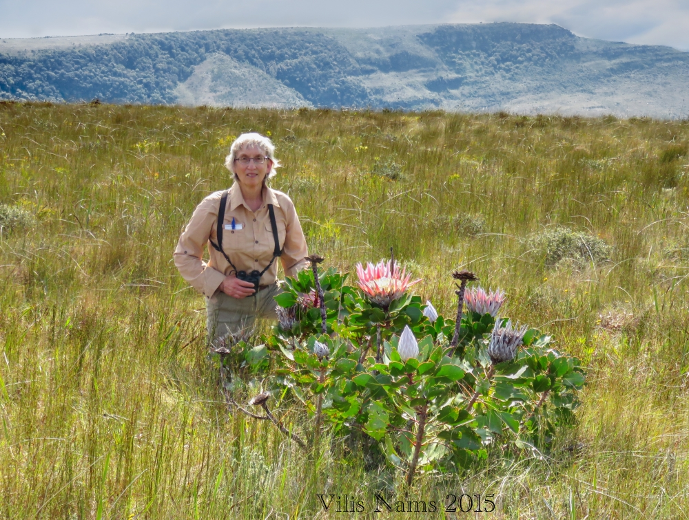 Six Months in South Africa: Hiking Oldenburgia Trail: On one knee beside a king protea shrub (Protea cynaroides), Oldenburgia Trail. (© Magi Nams)