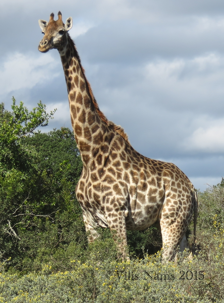Six Months in South Africa: Land of Plenty Big Animals: Giraffe (Giraffa camelopardalis) (© Vilis Nams)
