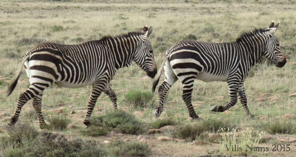 Six Months in South Africa: Mountain Zebra National Park: Cape Mountain Zebra (Equus zebra zebra)(© Vilis Nams)