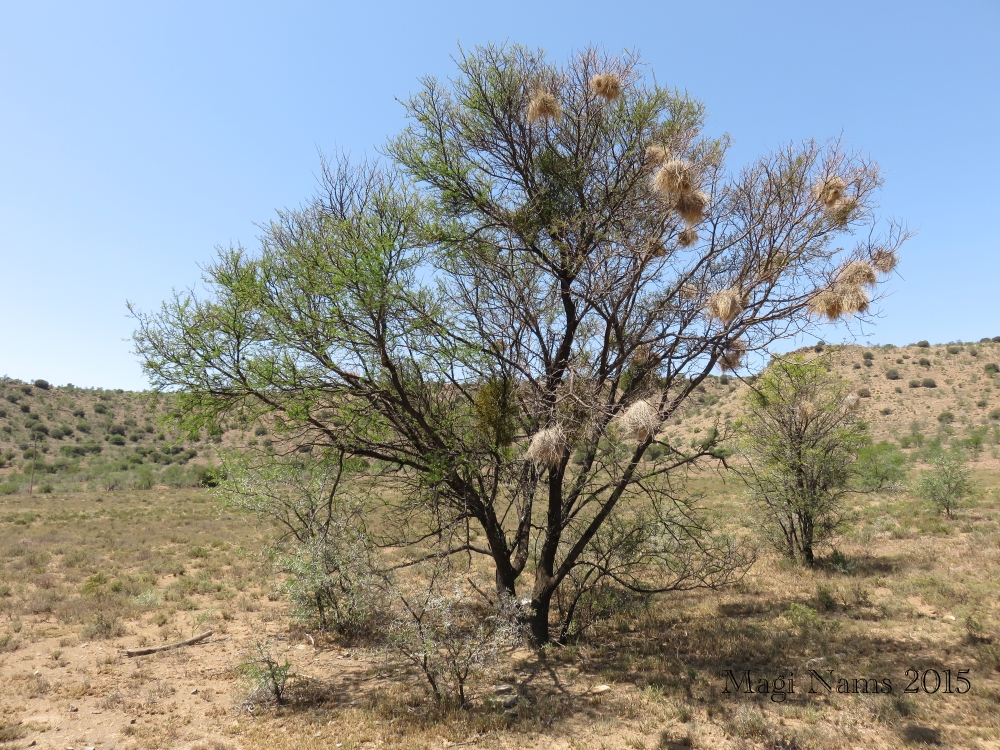 Six Months in South Africa: Mountain Zebra National Park: White-browed Sparrow-weaver Nest Tree (© Magi Nams)