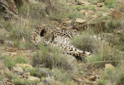Six Months in South Africa: Reflections on Three Months in South AfricaCheetah (Acinonyx jubatus) (© Vilis Nams)