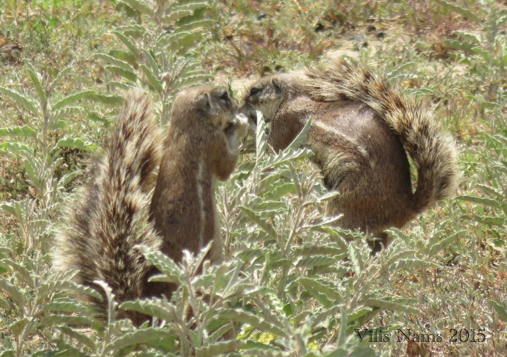 South African Ground Squirrels (© Vilis Nams)