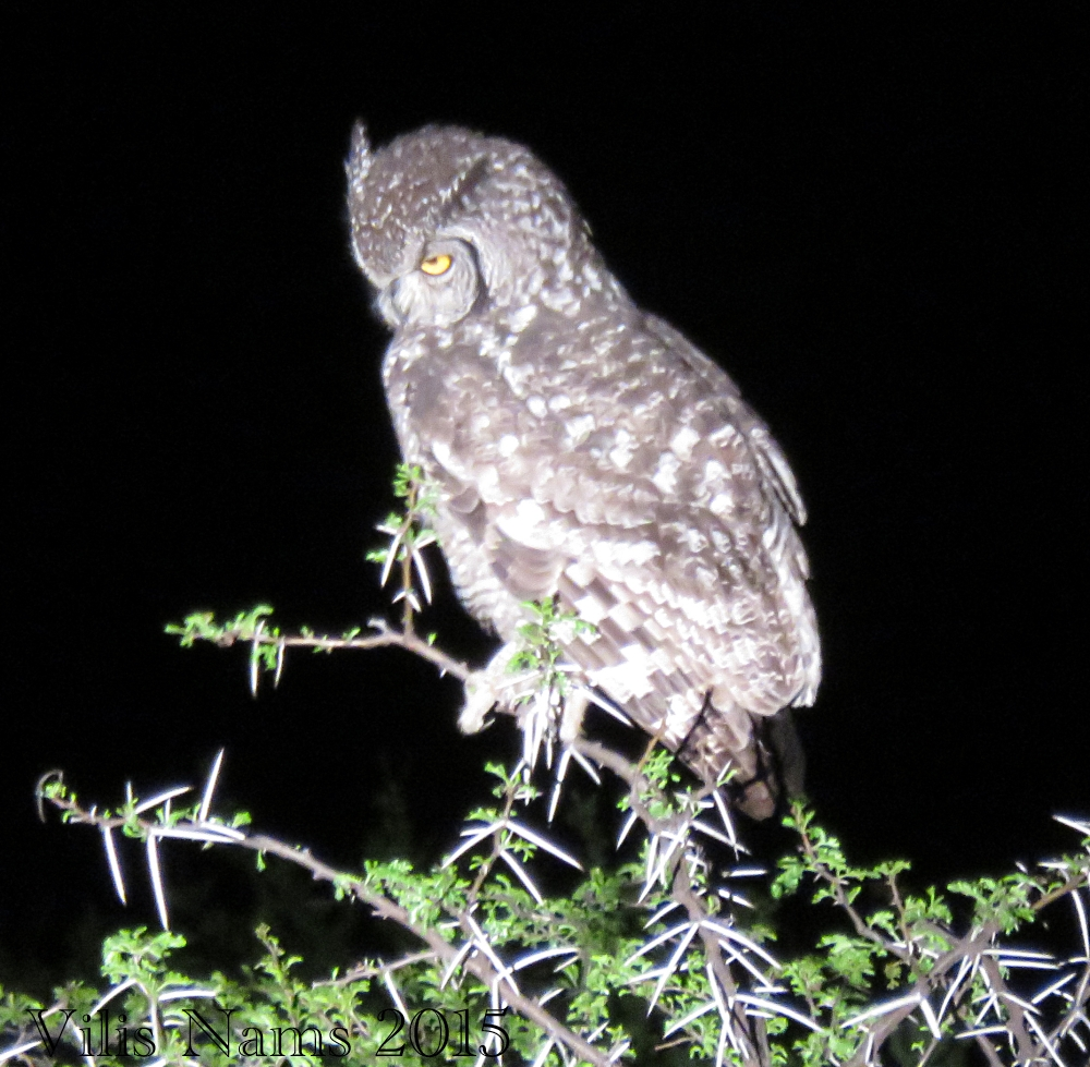 Six Months in South Africa: Mountain Zebra National Park: Spotted Eagle-owl (Bubo africanus) (© Vilis Nams)