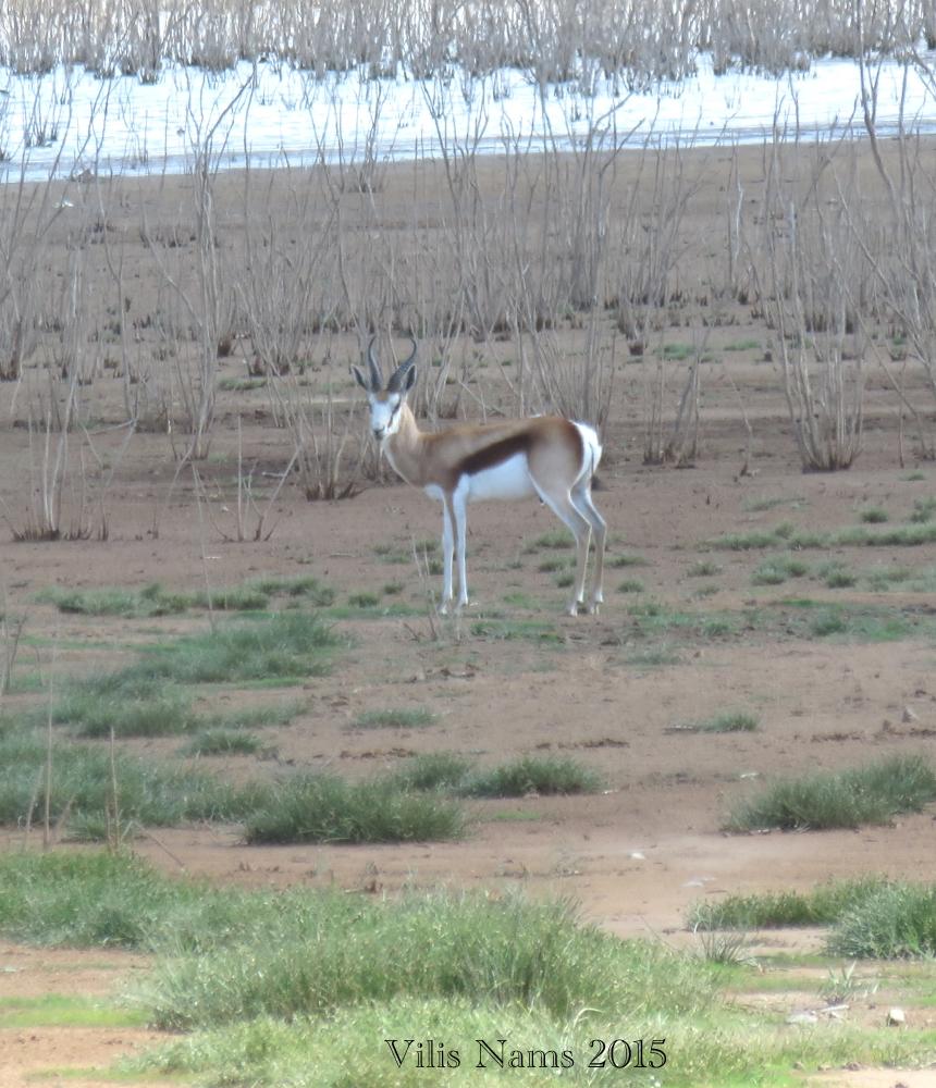 Six Months in South Africa: Camdeboo National Park: Springbok at Nqweba Dam (© Vilis Nams)