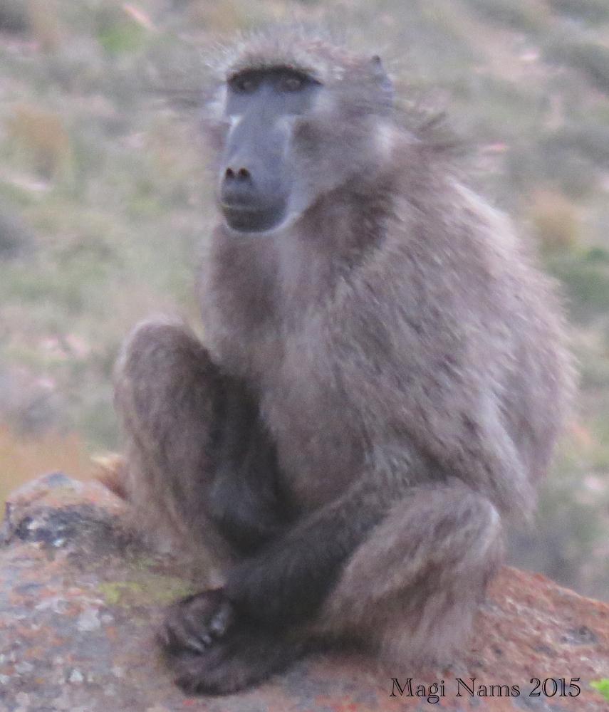 Six Months in South Africa: Camdeboo National Park: Savannah Baboon (© Magi Nams)