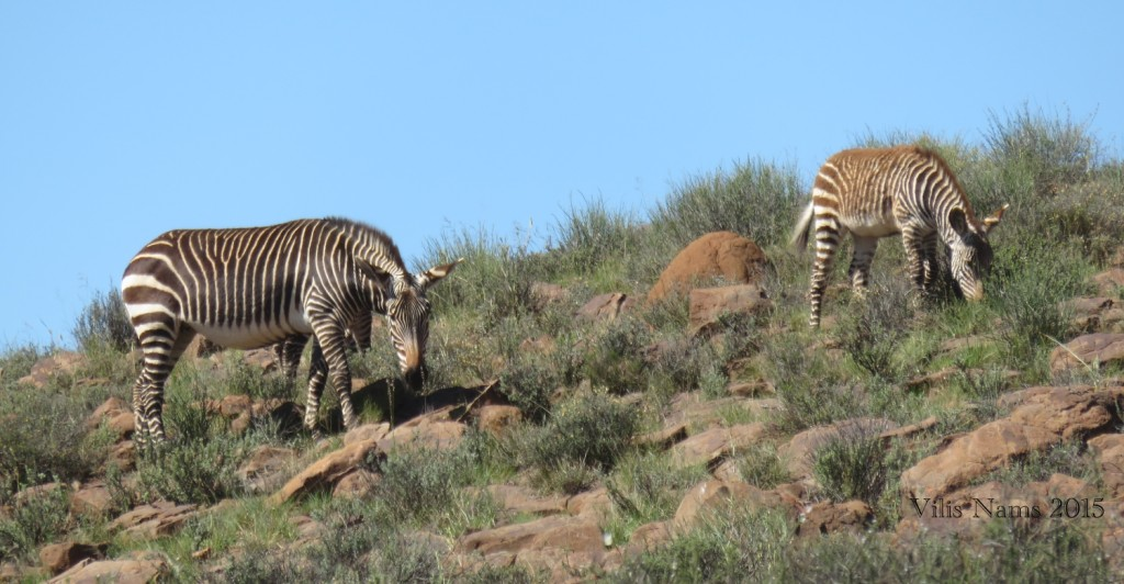 Six Months in South Africa: Karoo National Park: Mountain Zebra (Equus zebra zebra) (© Vilis Nams)