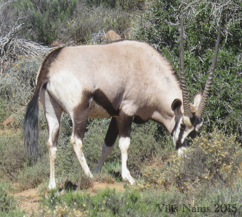 Six Months in South Africa: Karoo National Park: Gemsbok Bull (Oryx gazella) (© Vilis Nams)