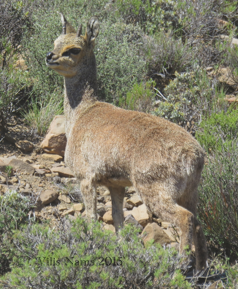 South African Mammals: Klipspringer Ram (Oreotragus oreotragus ) Karoo National Park (©Vilis Nams)