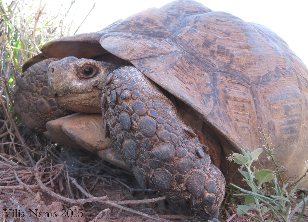 "Six Months in South Africa: Karoo National Park: Leopard Tortoise (Stigmochelys pardalis), one of the ""Small Five"" (© Vilis Nams)"