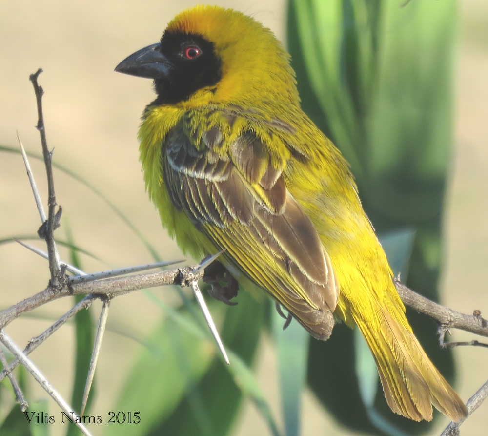 Six Months in South Africa: Karoo National Park: Male Southern Masked Weaver (Ploceus velatus) (© Vilis Nams)