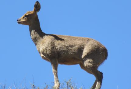 South African Mammals: Klipspringer Ewe (Oreotragus oreotragus), Karoo National Park (©Vilis Nams)