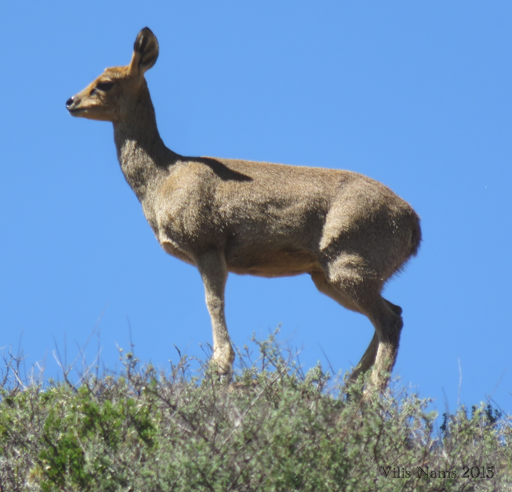 South African Mammals: Klipspringer Ewe (Oreotragus oreotragus) in Karoo National Park, South Africa (©Vilis Nams)