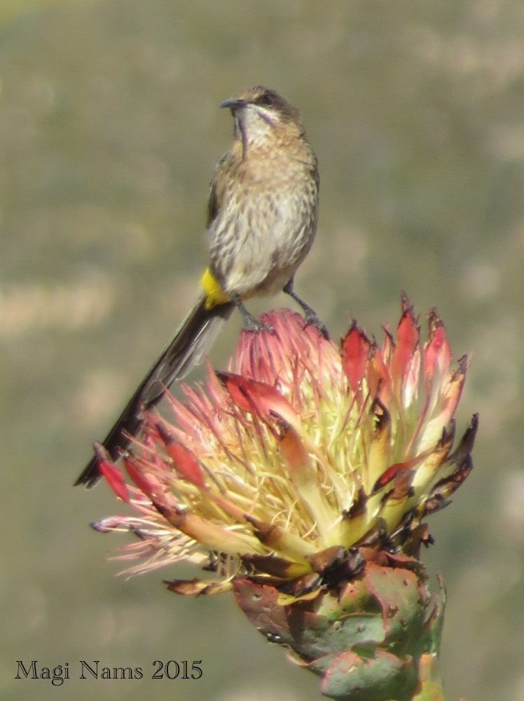 Love Your Planet: Join in the Great Backyard Bird Count: Cape Sugarbird (Promerops cafer), South Africa (© Magi Nams)