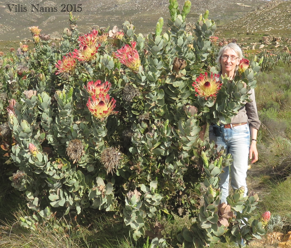 Six Months in South Africa: Swartberg Pass: Here I am with a Waboom protea in Swartberg Pass (© Vilis Nams)